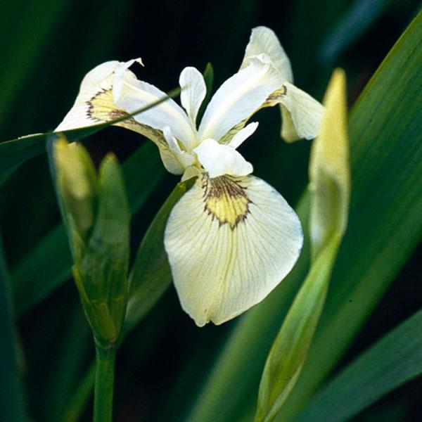 Pseudocorus Cream
