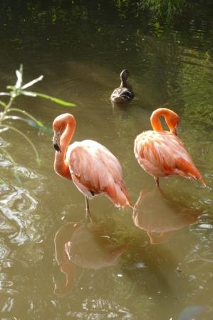 flamingo 5c